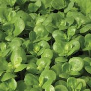 Purslane - Green 25 grams - 1 kg